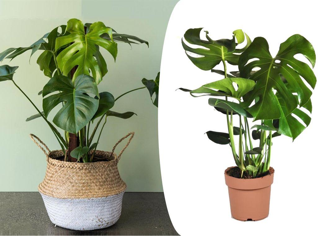 Korting Philodendron Monstera 'Gatenplant' (60 70 cm)