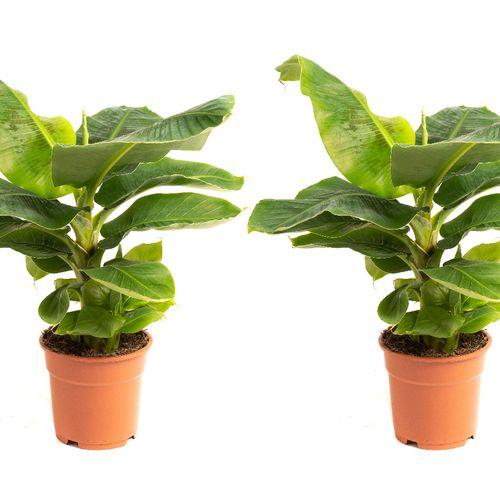 Set van 2 Bananenplanten (50 - 60 cm)