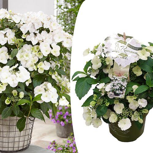 Witte Hortensia 'Runaway Bride' (25 - 40 cm)