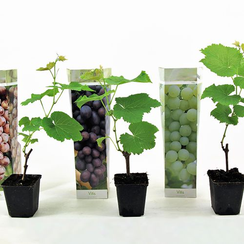 Set van 3 druivenplanten
