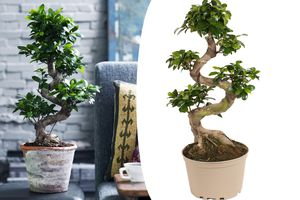 Bonsaï Ficus Ginseng XL (60 - 80 cm)