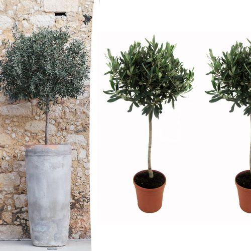 Set van 2 olijfbomen op stam (80 - 90 cm)