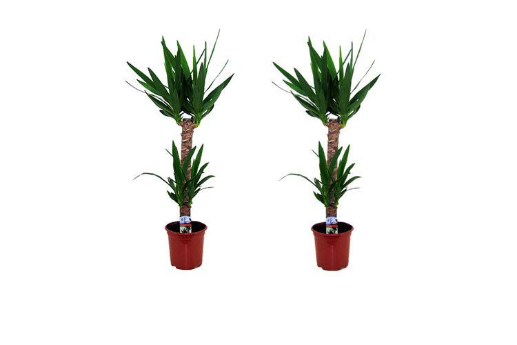Yucca Plante Interieur 2 Plantes D Interieur Yucca Elephantipes