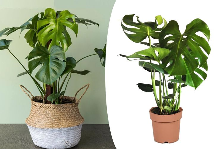 Korting Philodendron Monstera 'Gatenplant' (60 70 cm)