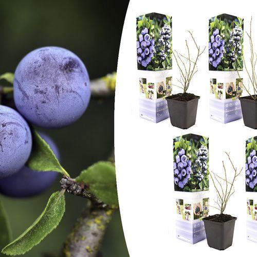 Set van 4 blauwe bessenplanten (20 - 30 cm)