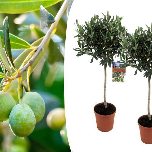 2 olijfbomen (90 - 100 cm)