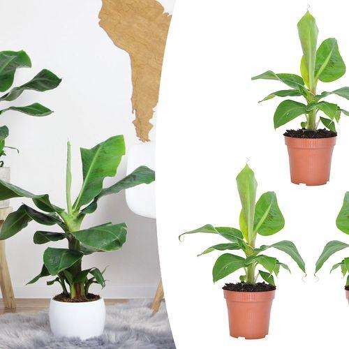 Set van 3 tropische bananenplanten