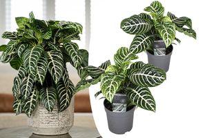 Set van 2 Aphelandra Zebraplanten (25 - 40 cm)