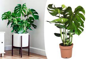 Philodendron Monstera 'Gatenplant' (60 - 70 cm)