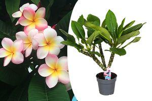Exotische Plumeria Hawaiian-plant (50 - 60 cm)