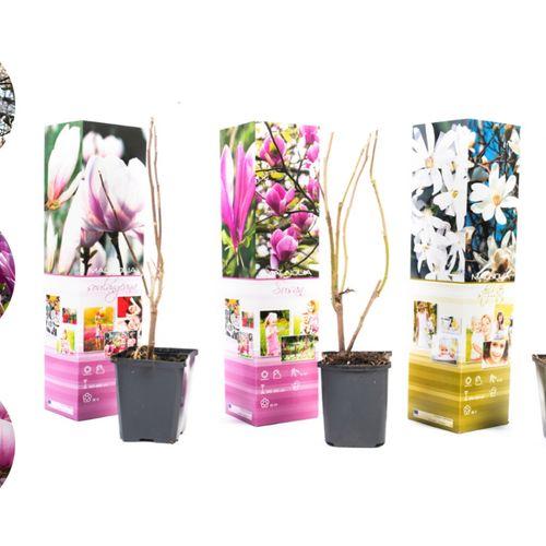 Set van 3 Magnolia-planten