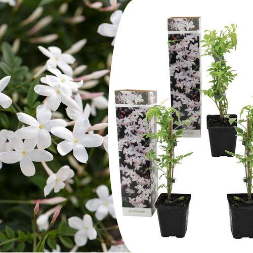 3 witte Jasmijnplanten (20 - 30 cm)