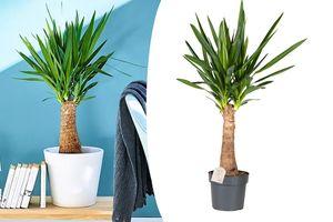 XL Yucca Stronk kamerplant (70 - 80 cm)