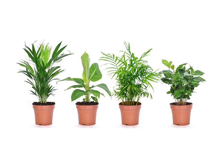 Korting Set van 4 kamerplanten (25 40 cm)