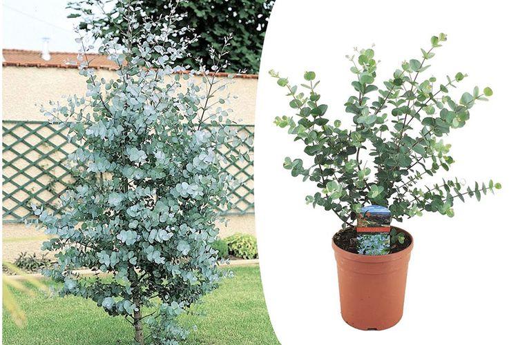 Winterharde Eucalyptus 'Gunnii' struik (50 - 60 cm)