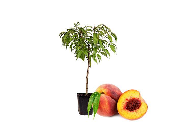 Dwerg perzikboom (60 - 70 cm)