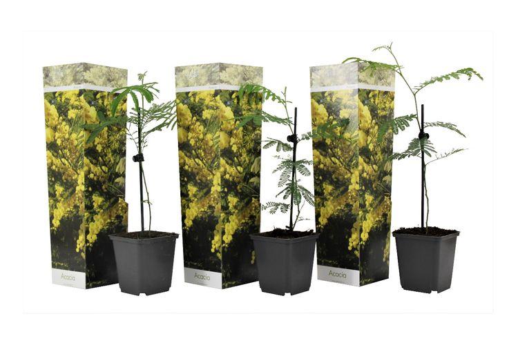Set van 3 Acacia Dealbata Mimosa-planten (20 - 40 cm)