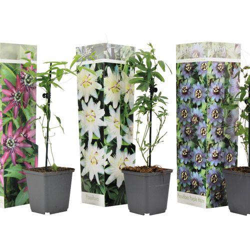 Set van 3 Passiflora-planten (15 - 35 cm)
