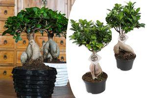 2 Japanse Bonsai's Ficus Ginseng (35 - 40 cm)