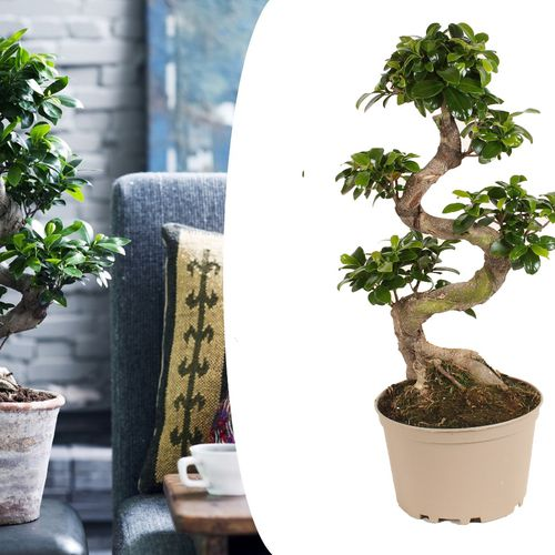 XL Japanse Bonsai-boom