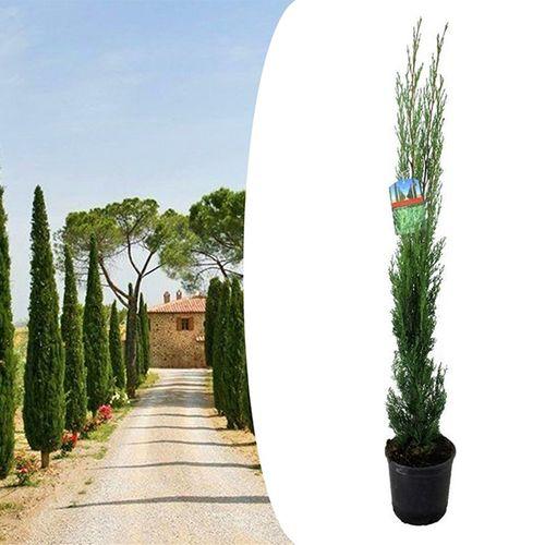 Toscaanse Cipres (60 - 80 cm)