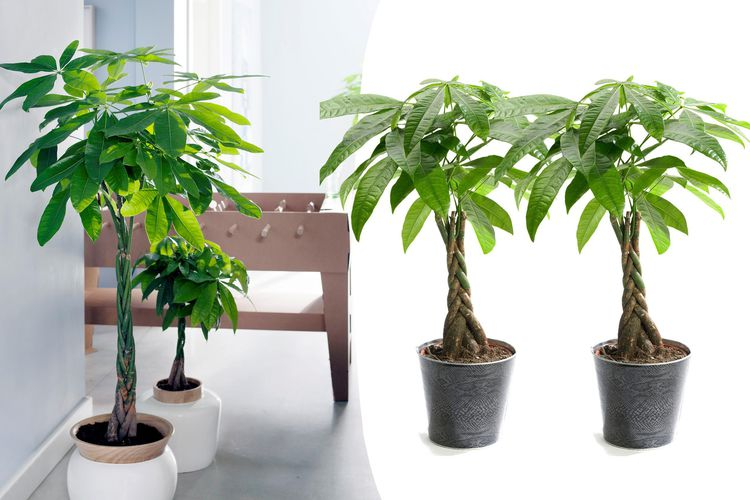 Set van 2 pachira planten (60 - 70 cm)