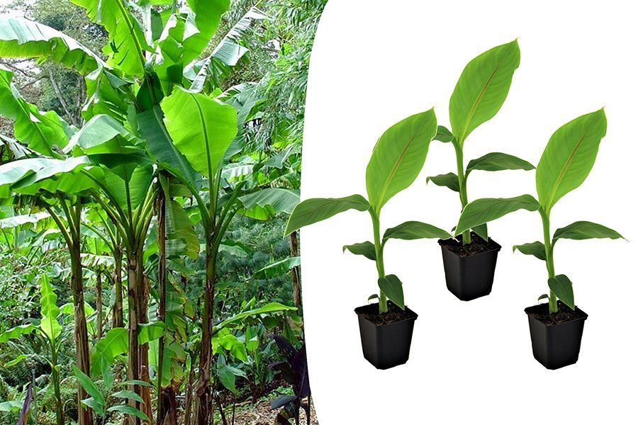Set van 3 winterharde bananenplantjes (20 - 40 cm)