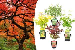 Set: 4 winterharte japanische Ahornpflanzen (20 - 40 cm)